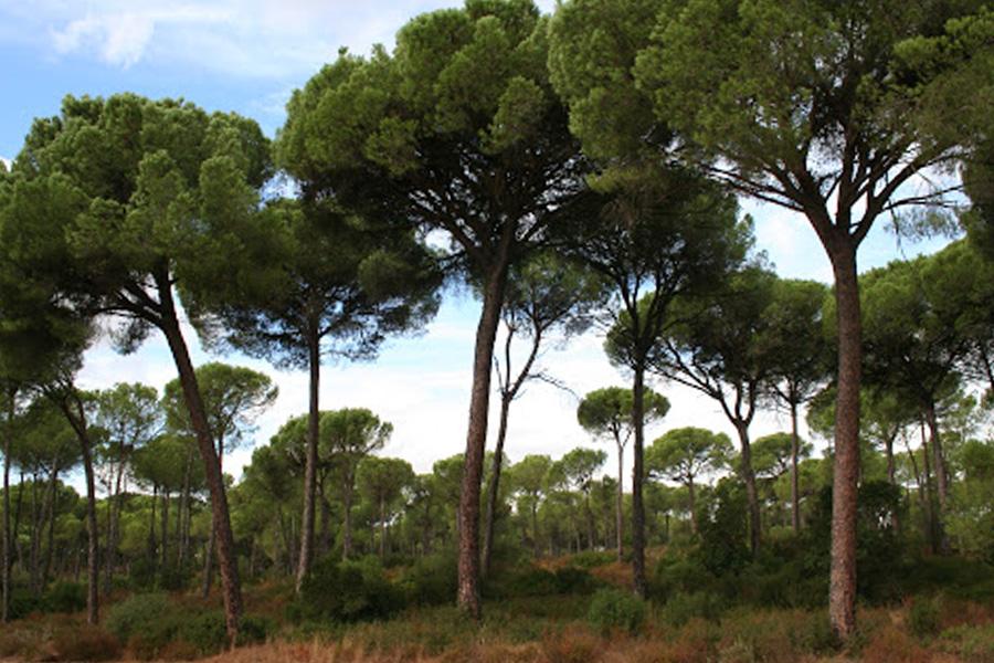 Oruga procesionaria del pino- la plaga más defoliadora de los pinares españoles